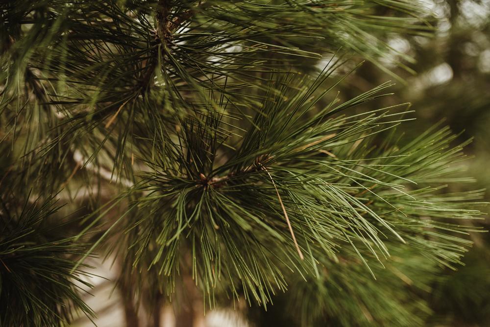 Elopement Lake Tahoe, photo of tree