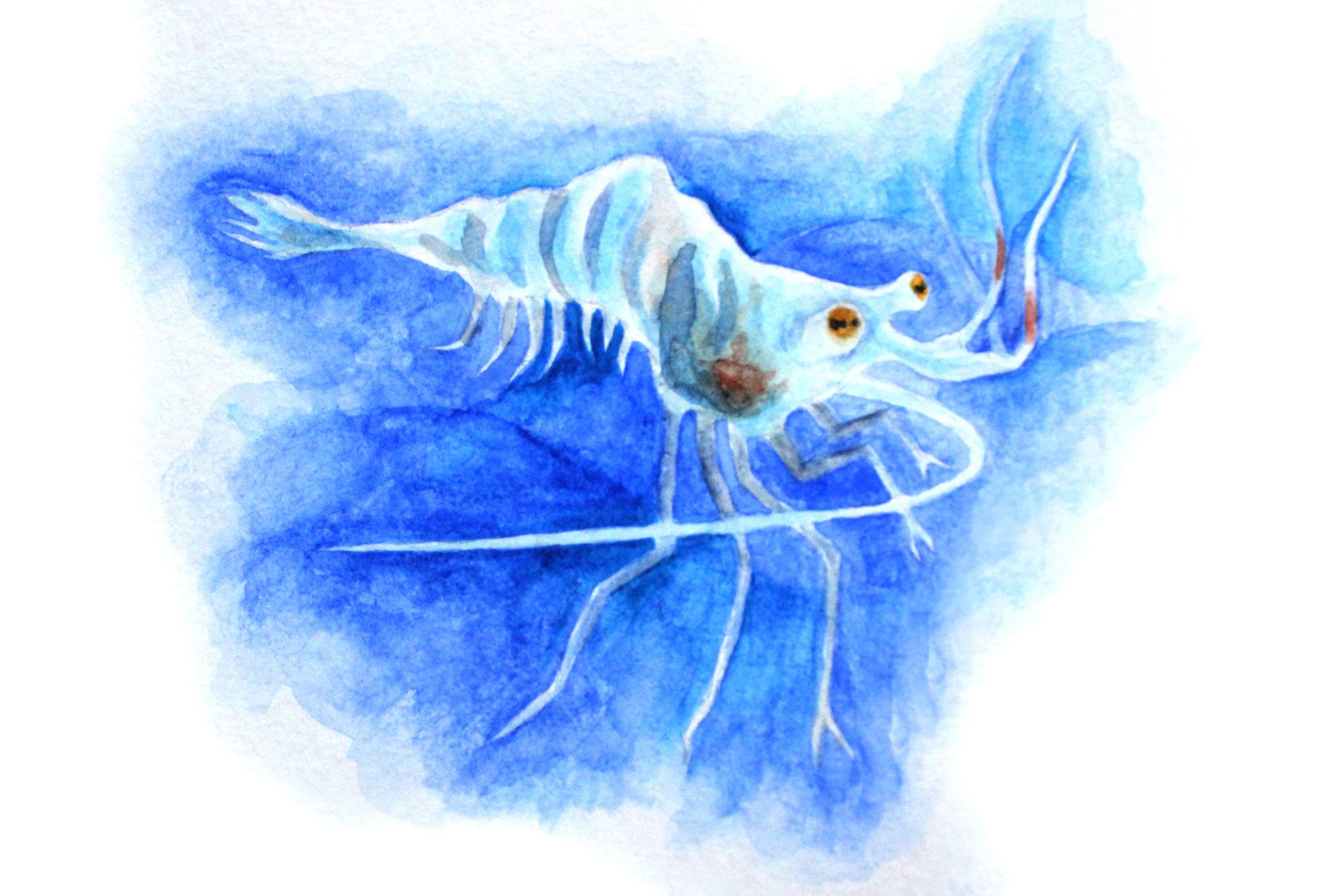 Ghost Shrimp.jpg