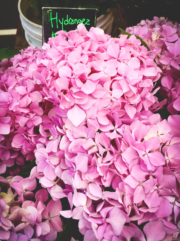 hydrangea-flower-1.jpg