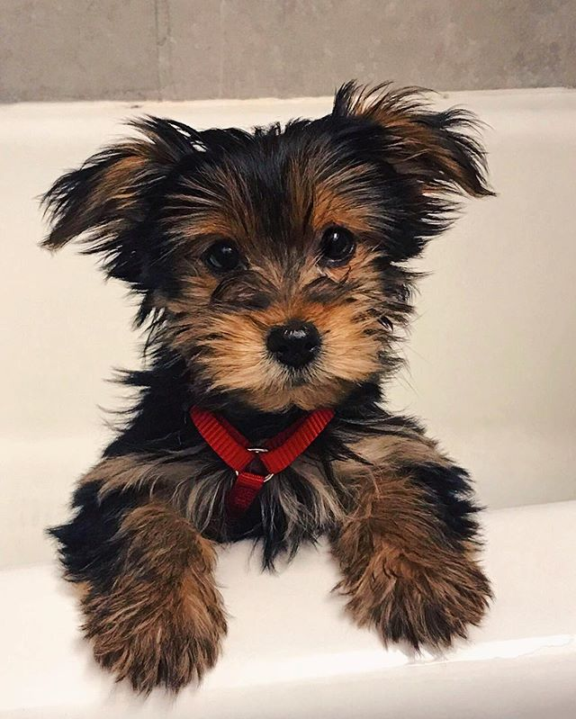 After months of searching, @cearateixeira and I found the best lil pup. The mini munchkin. The happy hellion. The parkour pup. Everyone meet Lucy the Yorkiepoo. Give her a follow @lucypuplucypup bc her parents are true millenials. - #puppy #puppies #puppiesofinstagram #dog #dogs #doggo #dogsofinstagram #yorkiepoo #nycdogs