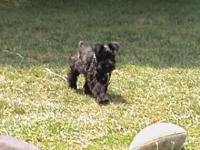 Lucy, Miniature Schnauzer