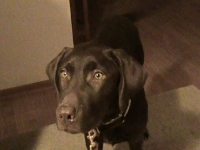 Tucker -  Chocolate Labrador Retriever