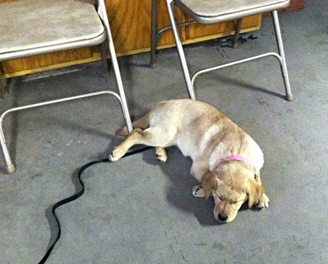 Gracie- English Labrador Retriever             Tired at the end of a private lesson