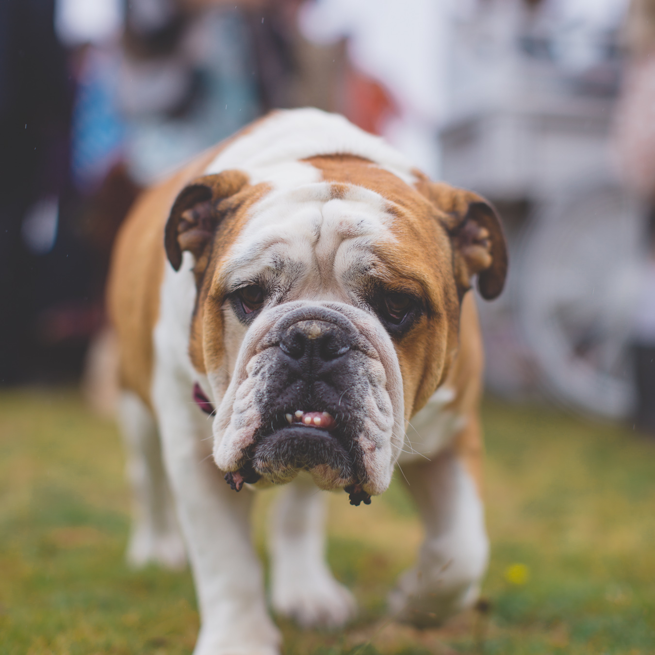 One of a set of images taken at this Destination Wedding of Jo and Steve, Jersey The Channel islands. Wedding Festival British Bulldog. Wedding Photography By Matt Porteous & Max Burnett.