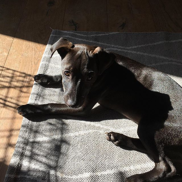 Juno sun bathing#lazysunday #patterdales #pupsofinsta 😍