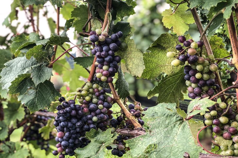 grapes2.png
