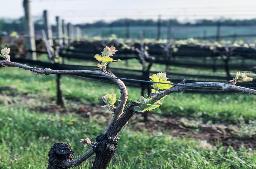 vineyard1.png