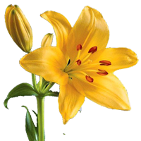 Asiatic Lily   Season: Year Round  Colors: White, Pink, Yellow, Orange