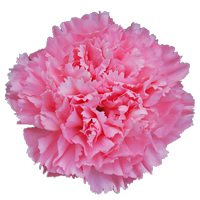 Carnation   Season: Year Round  Colors: White, Yellow, Orange, Green, Pink, Red, Purple, Peach