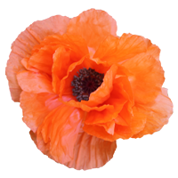 Poppy   Season: March to August  Colors: Red, Orange, Pink
