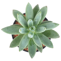 Succulent   Season: Year Round  Colors: Green, Pink, Blue