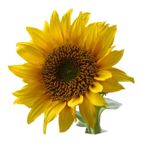 Sunflower   Season: April to November  Colors: Yellow