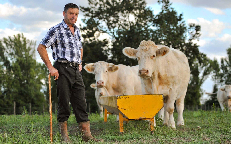 cows and farmer.jpg