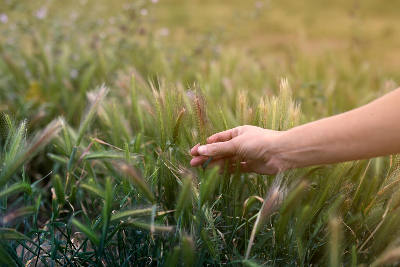 Hånd med kornaks i åker.jpg