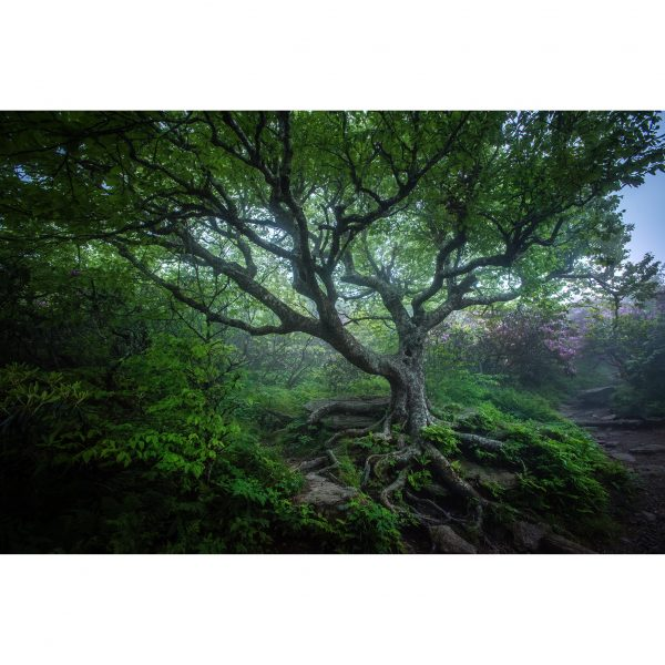 CraggyGardens-147-Tree-in-the-Woods-600x600.jpg