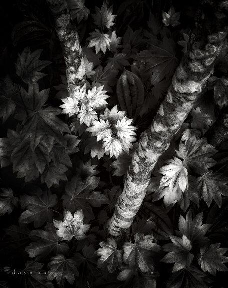 Early Maple.jpg