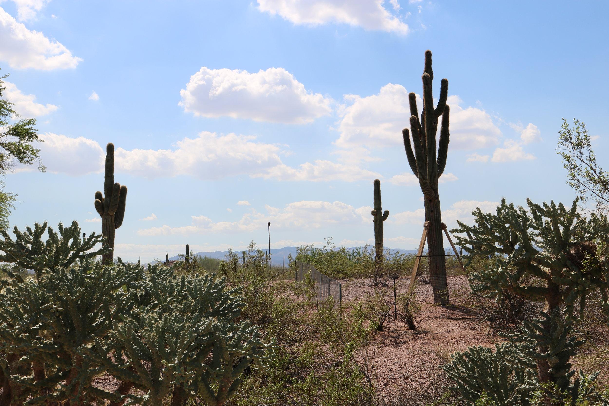 My photo taken at the Desert Botanic Garden in Phoenix - I've taken some liberties, and changed things around a bit.