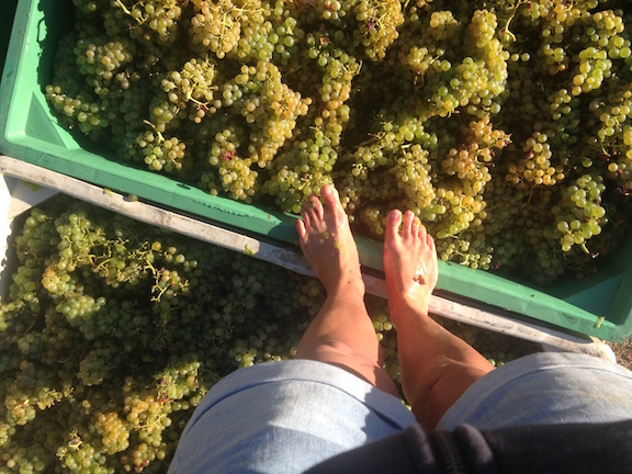 picpoul feet.jpeg