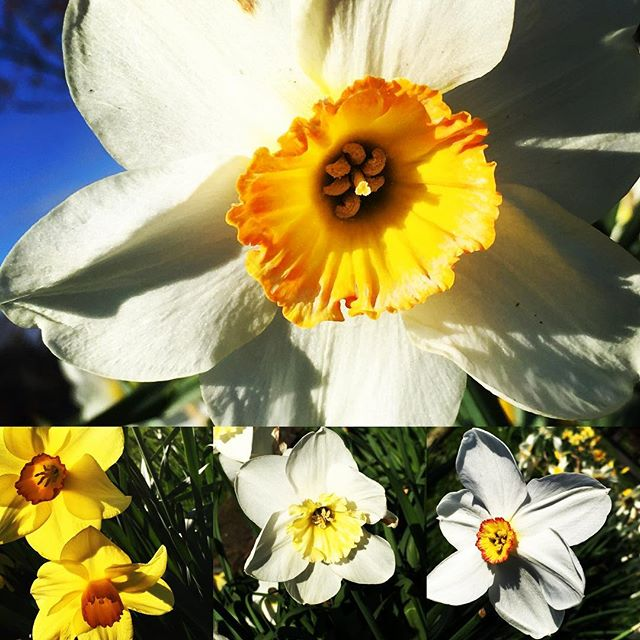 Beauty shines for too little time #spring#flowers #inspiration #harrogate #rigbydesignhouse #daffodils
