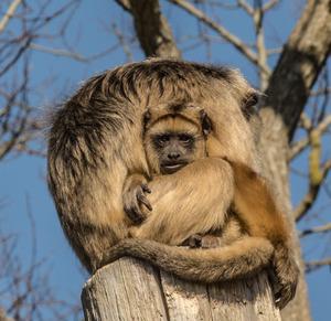 monkey+puzzle.jpg