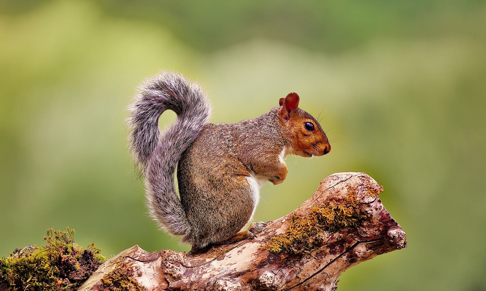 'Pensive Squirrel' by Shannon James