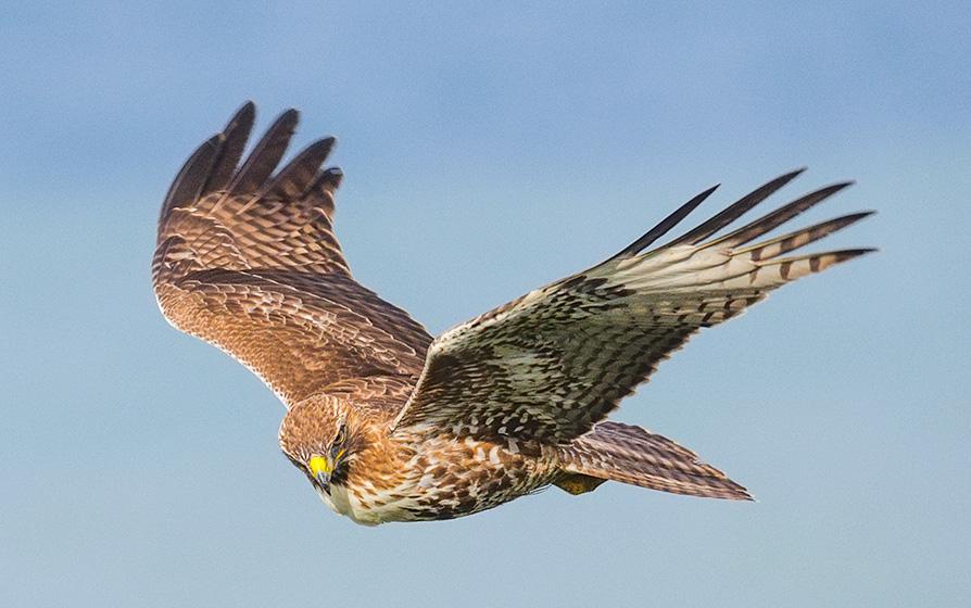 Redtail Hawk in Flight. Mussel Rock. 2017. Canon 5DSr.