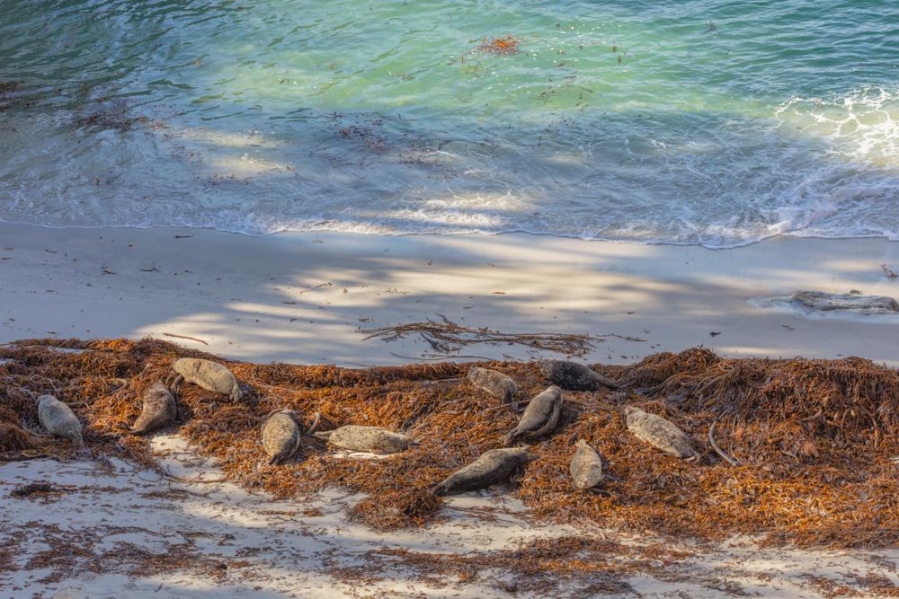 Harbor Seals, Kelp and Beach. China Cove. Pt. Lobos, CA . 2018