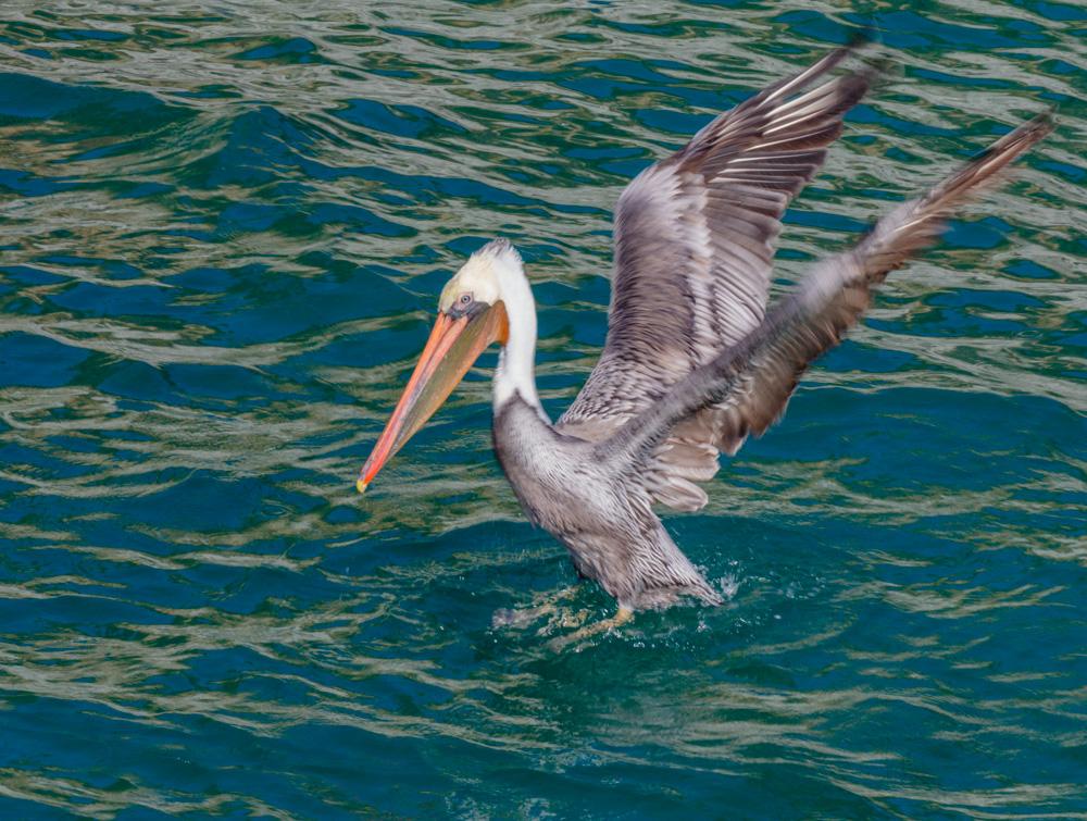 California Brown Pelican. China Cove. Pt. Lobos,, CA 2018.