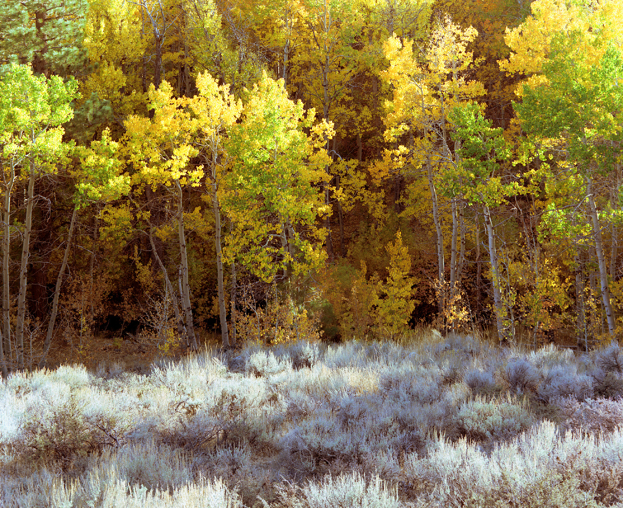 Aspens and Sage. Lee Vining Canyon. 1988.