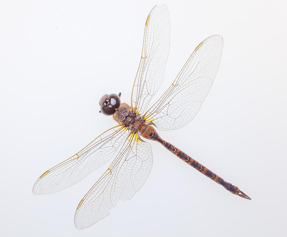 Dragonfly. 2019. Canon EOS 5DSr.