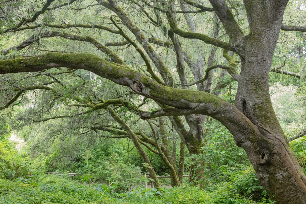 Oaks. San Pedro Valley Park. 2019. Canon EOS 5DS R
