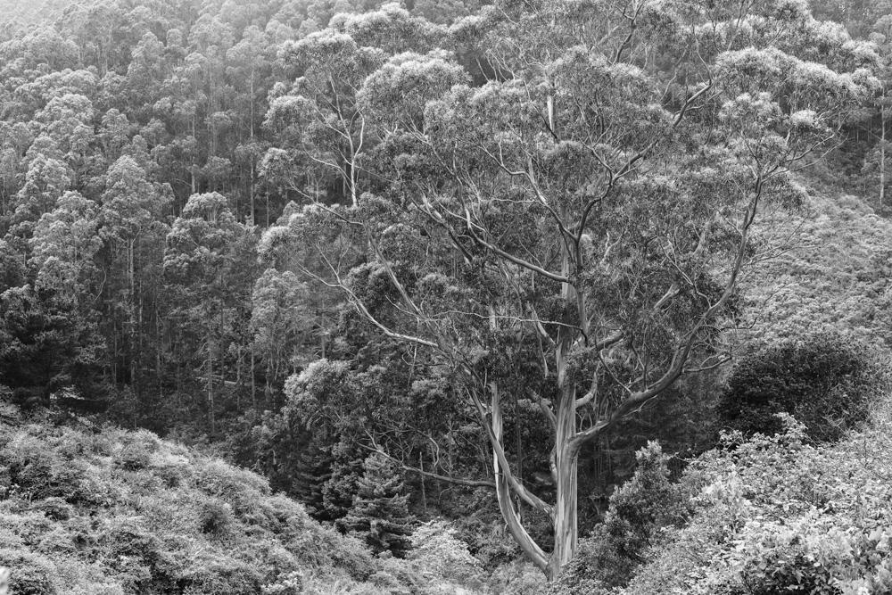 Eucalyptus Hillside. San Pedro Valley Park. 2019. Canon EOS 5DS R.