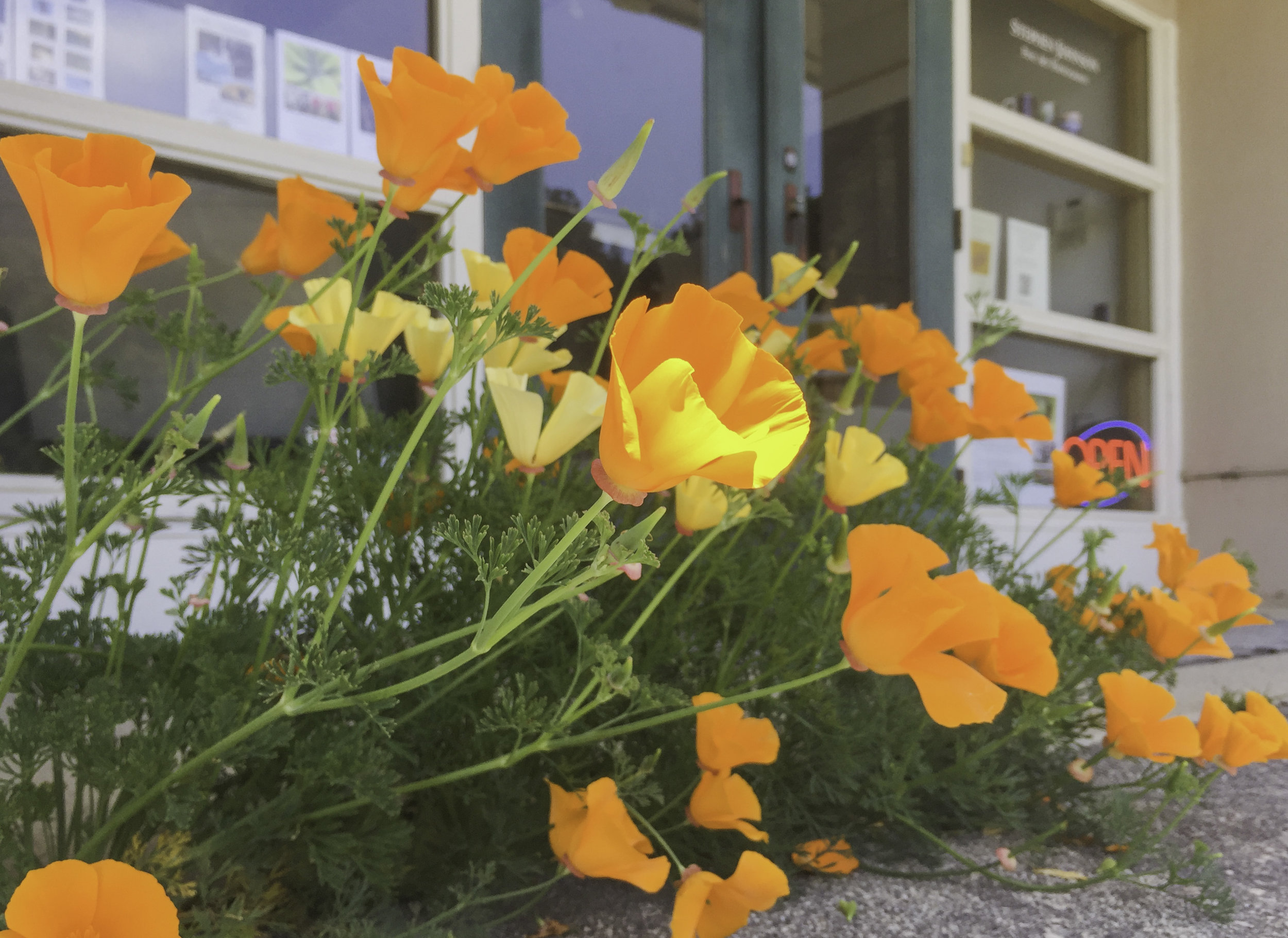 Poppies at Stdio Door. Pacifica, CA. 2019. Canon EOS 5DSr.