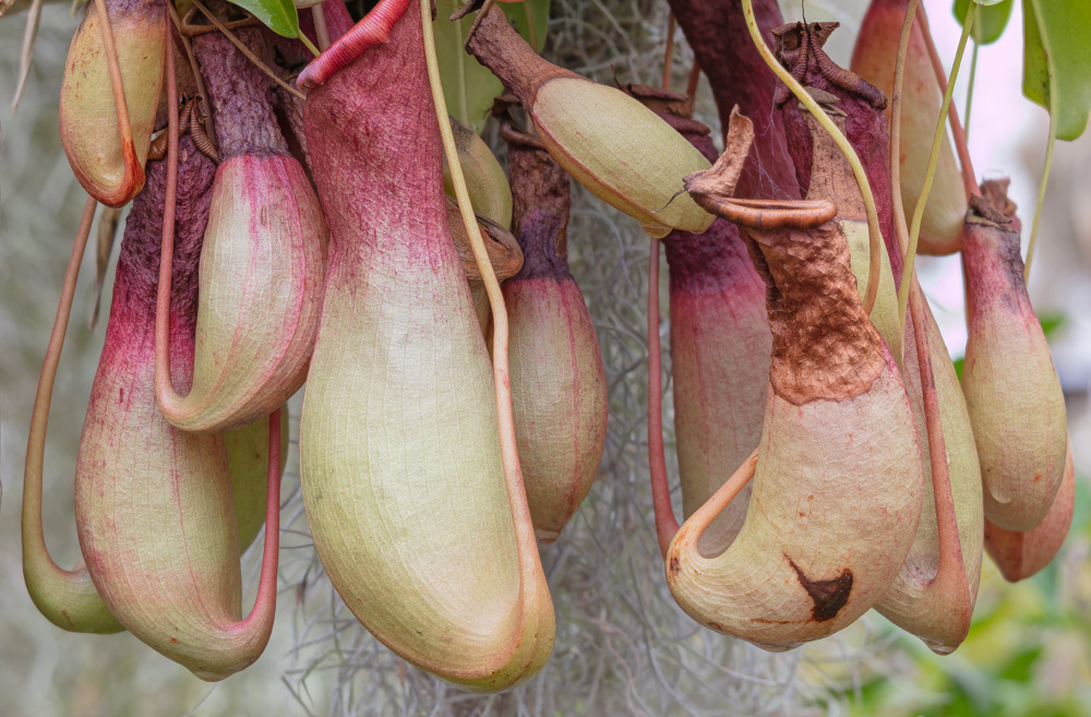 Pitcher Plants. Shelldance Orchid Gardens. 2019. Canon EOS 5DS R