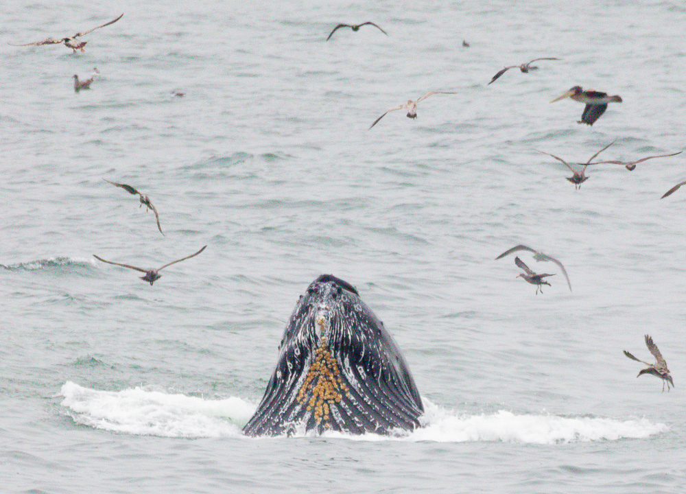 A Lunging Humpback Whale in Linda Mar Bay here in Pacifica. 2019. Canon EOS 5DS R