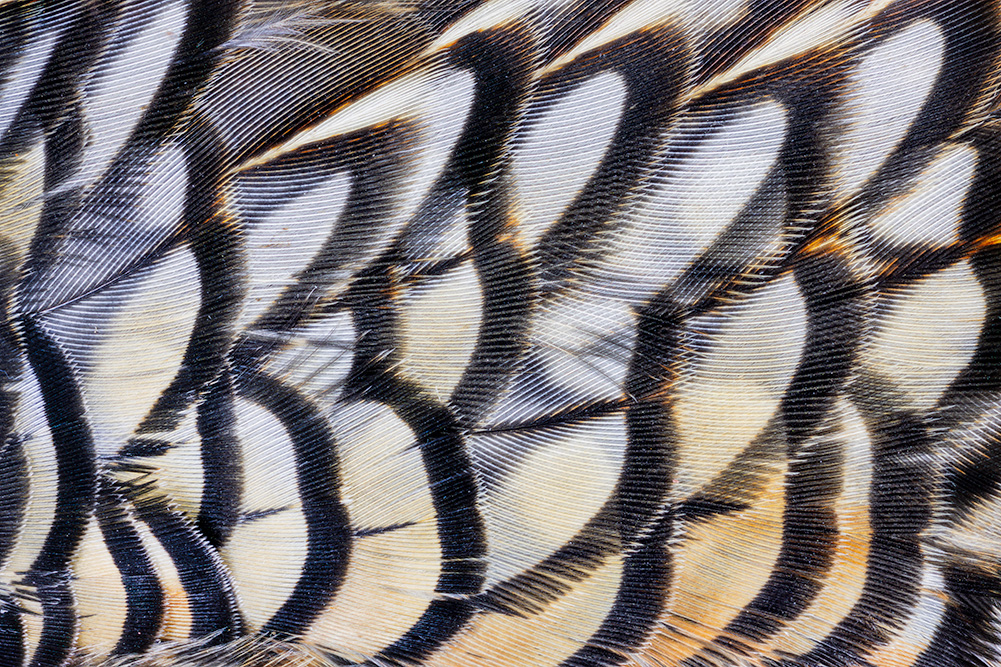 Male Quail Feathers, CA. 2019. Canon EOS-5DS R.