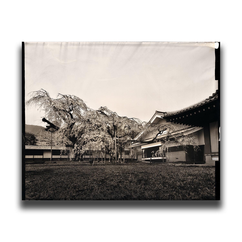Kyoto・Daigo-ji(Temple)・Shidare-zakura(cherry blossom)/京都・醍醐寺・醍醐深雪桜/교토・다이고사・벚꽃/京都・醍醐寺・醍醐深雪桜