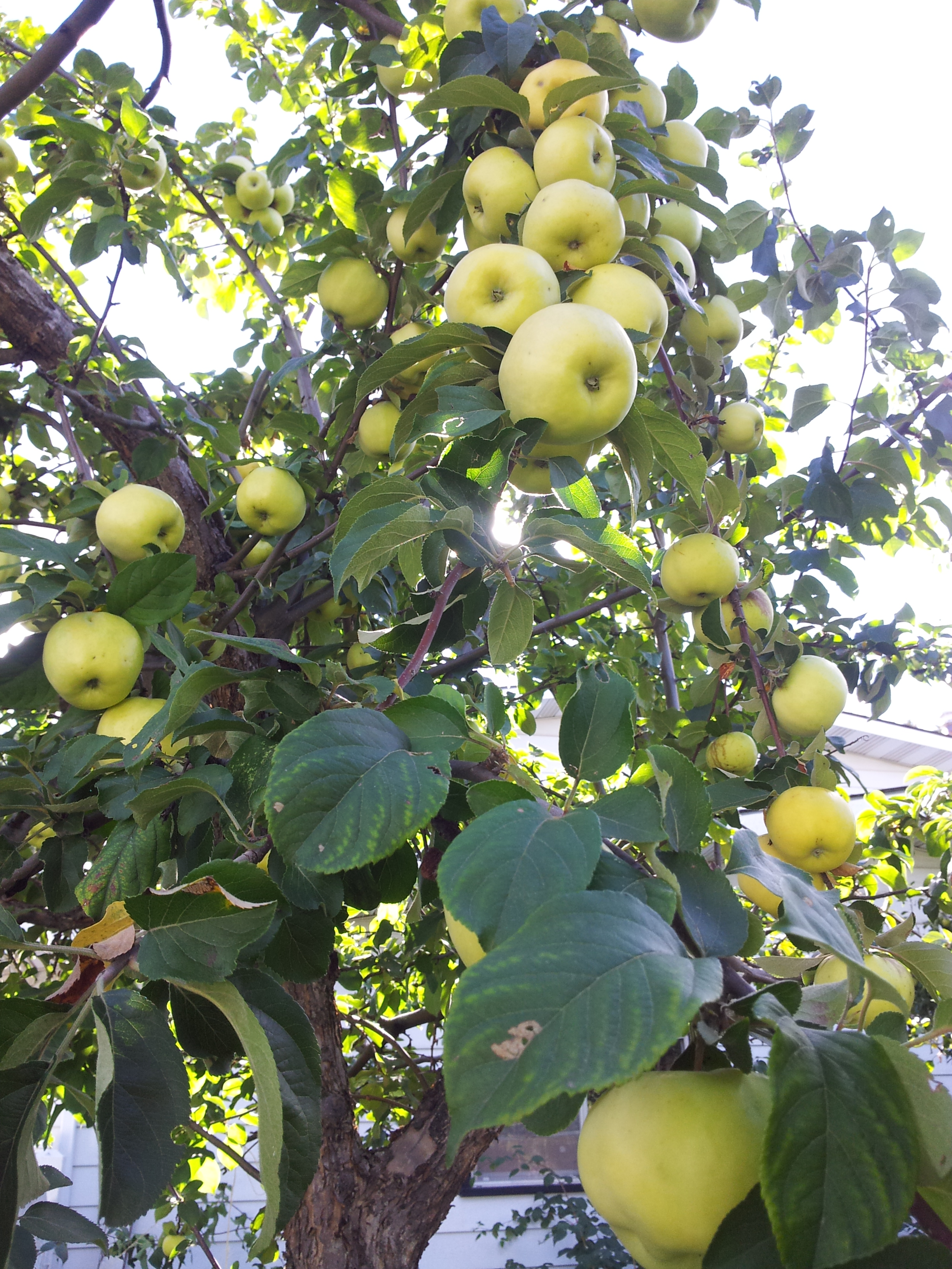 A loaded apple tree