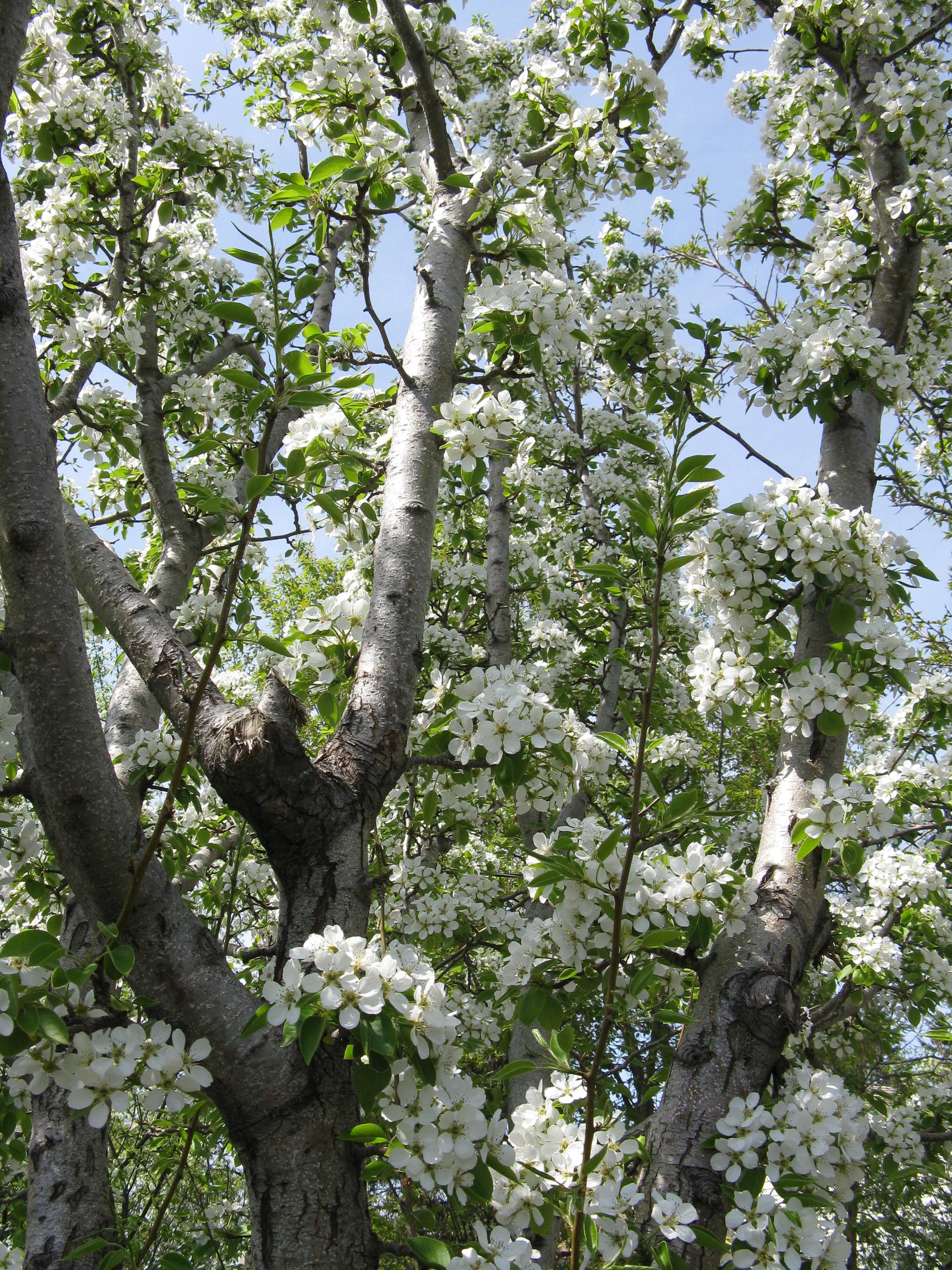 Donna W's Beautiful Pear Tree in Blossom