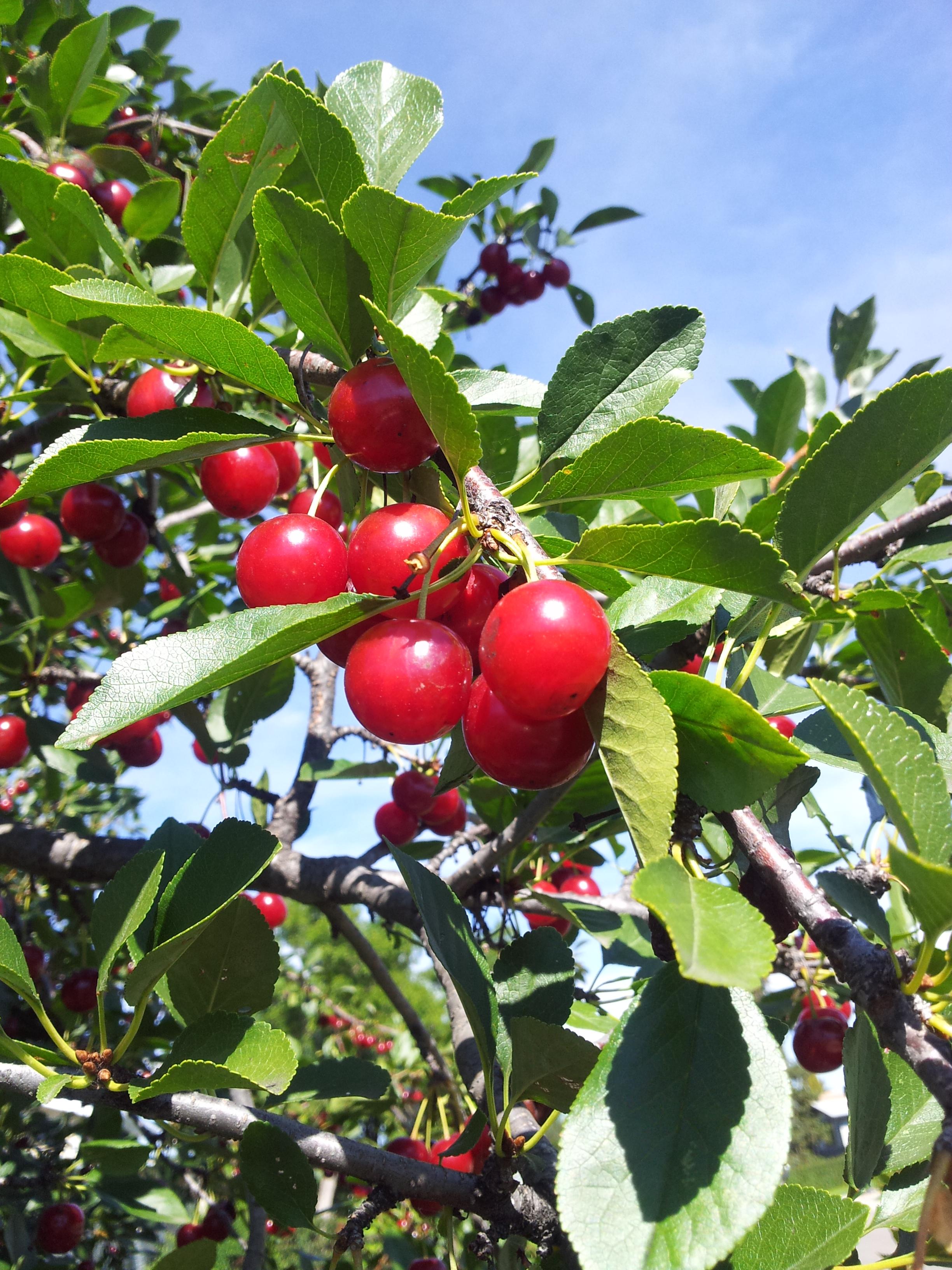 cherries on the tree.jpg