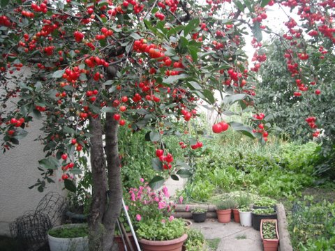GenaRosa's cherries3.JPG