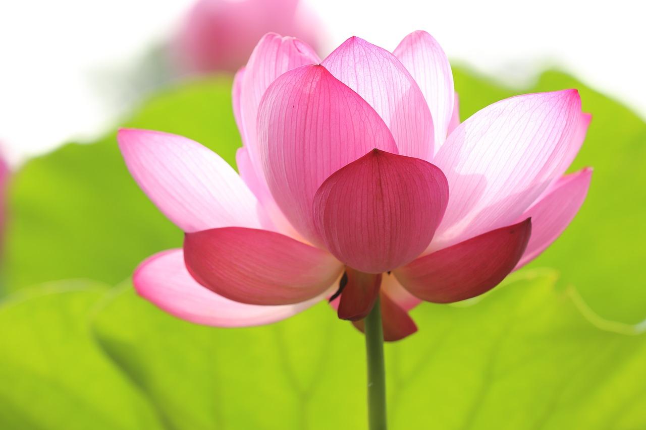 lotus-846059_1280.jpg