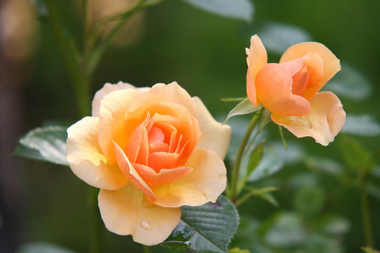rose-for-skin.jpg
