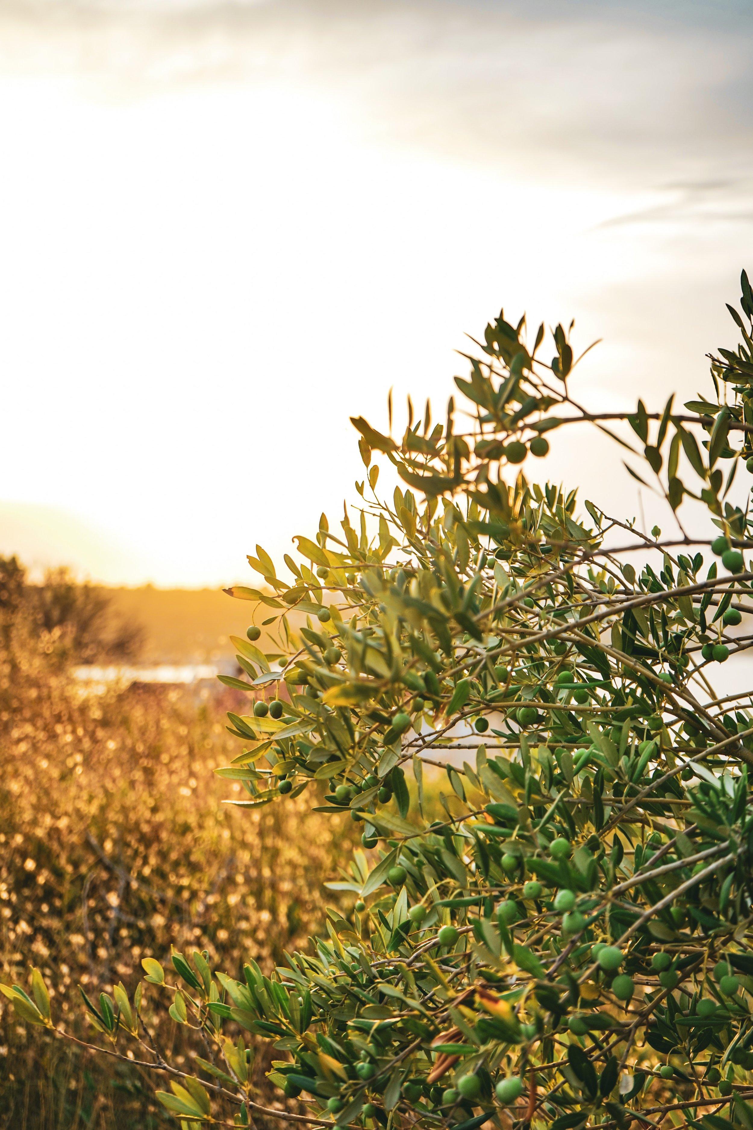 olive-leaf-EBV.jpg