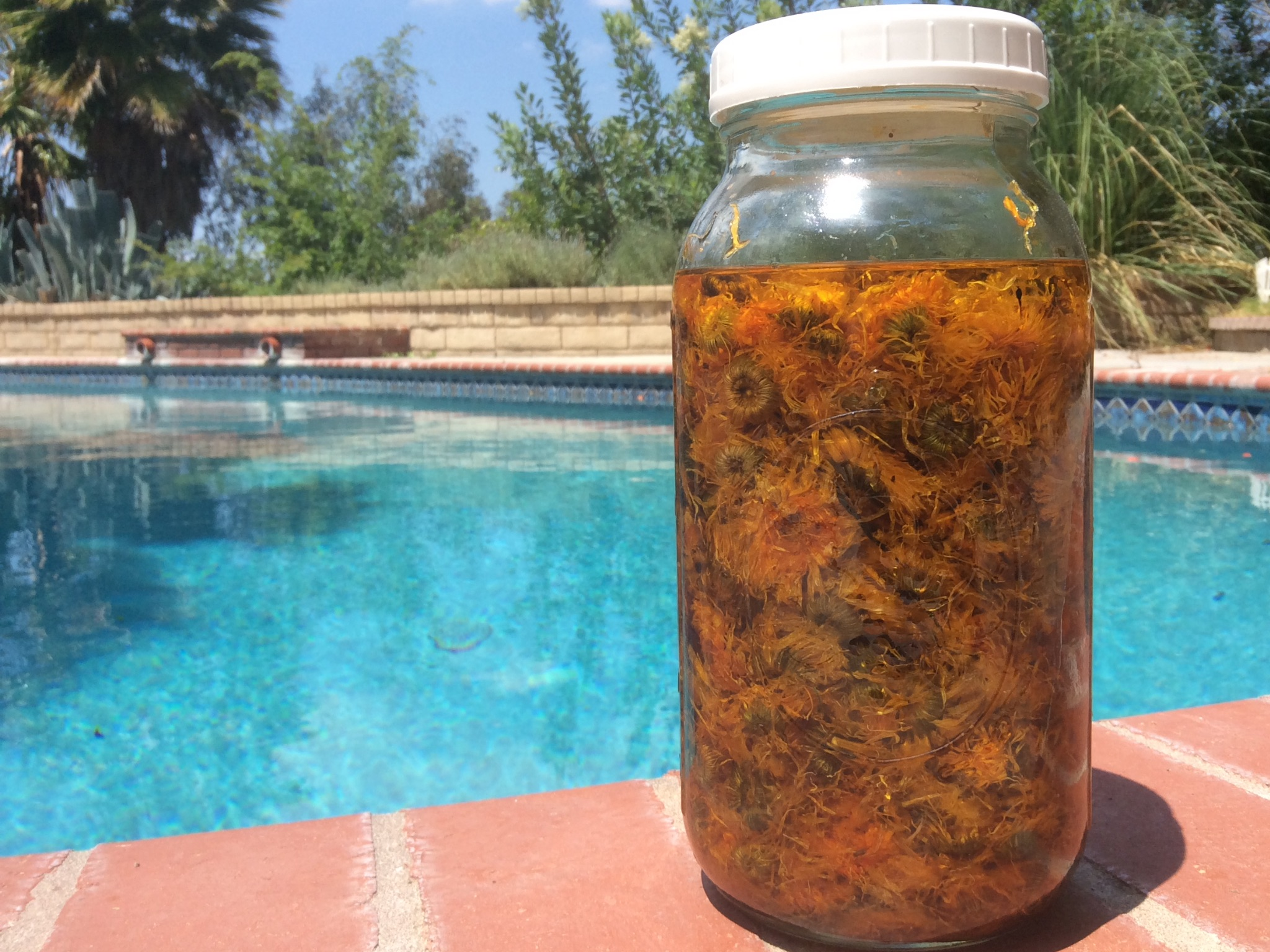 Calendula flowers  infusing in grapeseed and apricot kernel oil