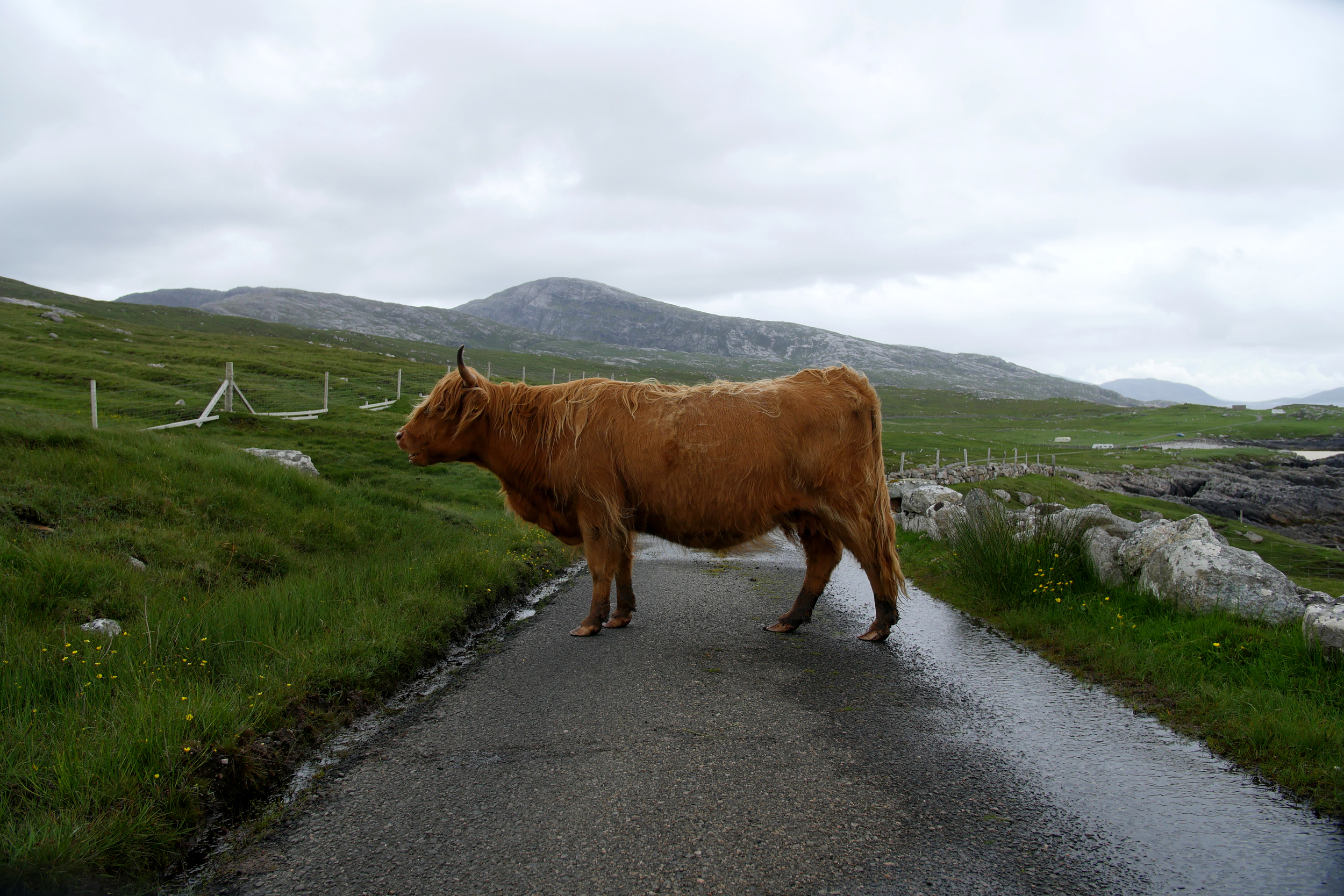 Highland Cow in Road.jpg