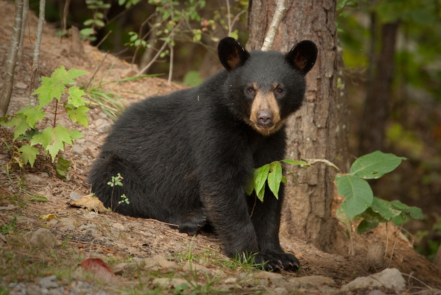 black-bear-cub.jpeg