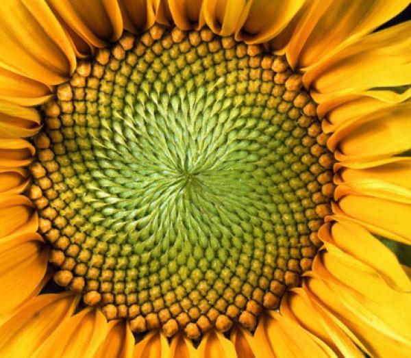 sunflower_fibonacci.jpg