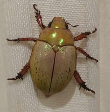 beetle gold.png