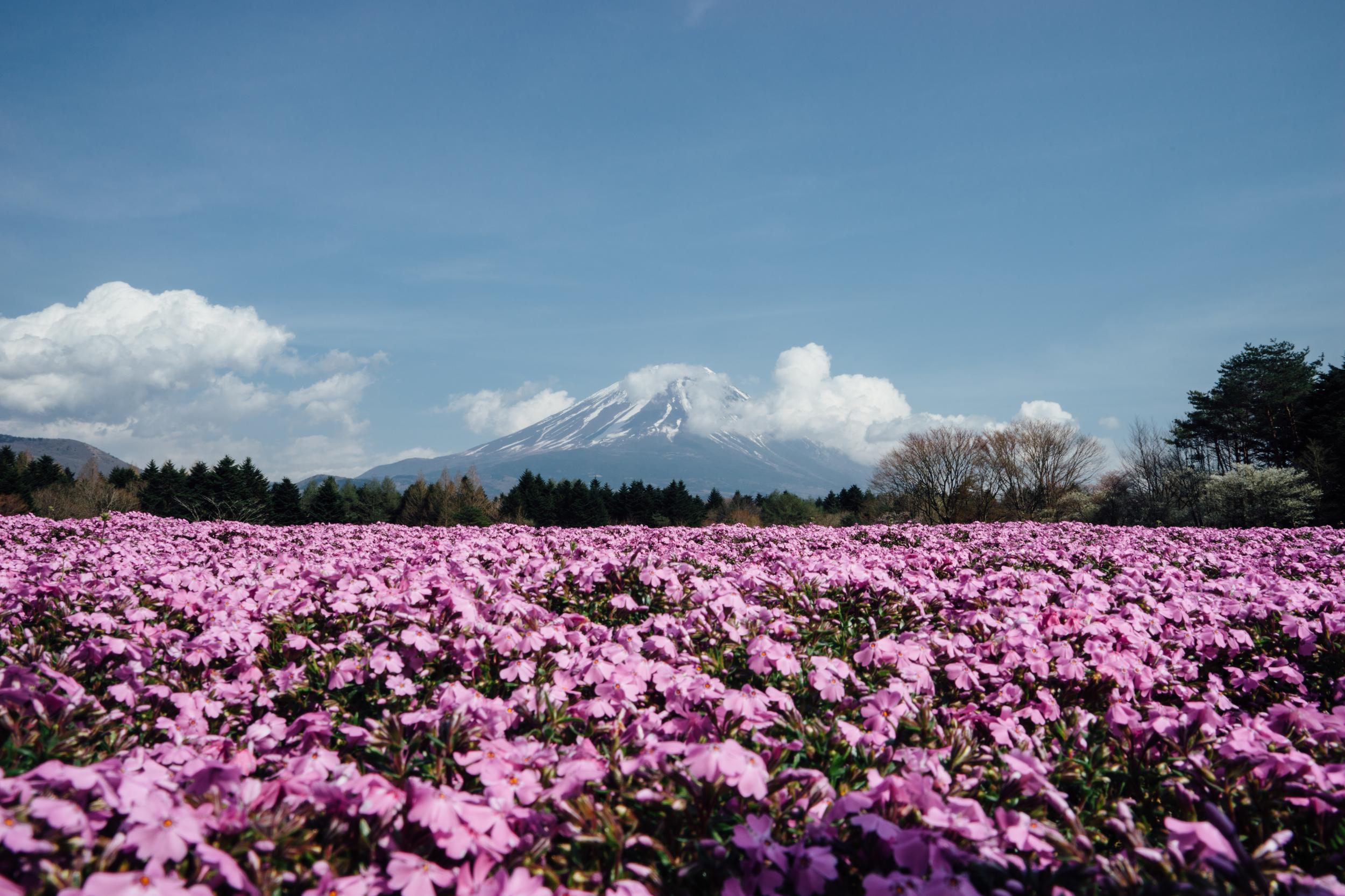 Shibazakura Field